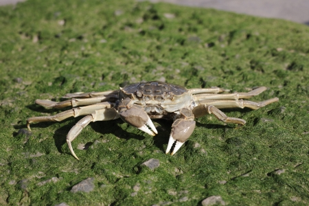 Chinese mitten crab, Eriocheir sinensis, Thames, London, October 2009 Stock Photo - 22684892