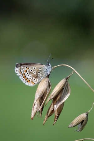 icarus: Common blue butterfly, Polyommatus icarus, Midlands, August 2009 Stock Photo