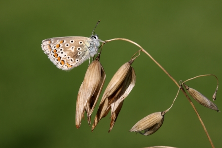 polyommatus: Common blue butterfly, Polyommatus icarus, Midlands, August 2009 Stock Photo