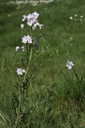 Ladys smock, Cuckoo flower, Cardamine pratensis, Midlands, spring            photo