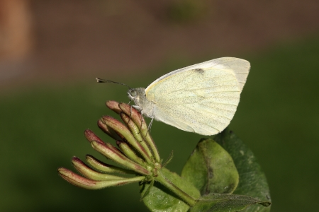 Large white butterfly, Pieris brassicae, Midlands, August 2009  photo