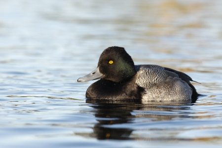 scaup: Lesser scaup, Aythya affinis, male, Arizona, USA, winter