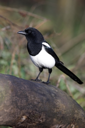 Magpie, Pica pica, on a log in woodland, Warwickshire, November 2009                      Stock Photo