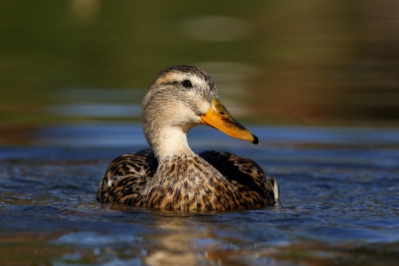 anas platyrhynchos: Mallard, Anas platyrhynchos, female, Arizona, USA, winter             Stock Photo