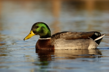 anas platyrhynchos: Mallard, Anas platyrhynchos, male, Arizona, USA, winter             Stock Photo