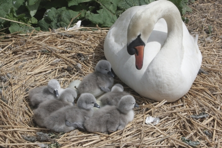 dorset: Mute swan, Cygnus olor, on nest with young, Abbotsbury, Dorset, spring