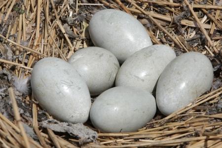 cygnus olor: Mute swan, Cygnus olor, eggs, Abbotsbury, Dorset, spring
