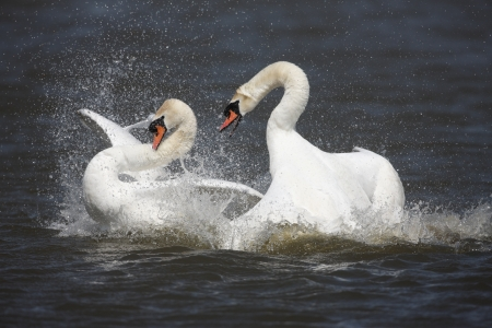 olor: Mute swan, Cygnus olor, pair fighting, Abbotsbury, Dorset, spring                    Stock Photo