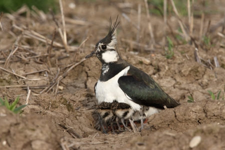 Northern lapwing, Vanellus vanellus, female with young, Midlands, spring