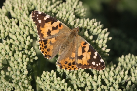 vanessa: Painted lady butterfly, Vanessa cardui, Midlands, August 2009