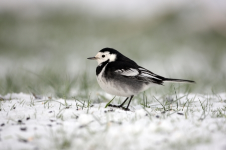 Pied wagtail, Motacilla alba yarrellii, A single bird standing in snow, Dumfries, Scotland, winter 2009 Stock Photo - 22700627