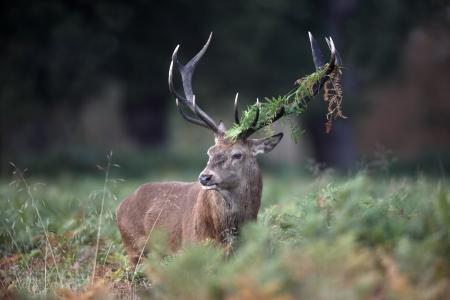 cervus elaphus: Red deer, Cervus elaphus, stag, Richmond, October 2009