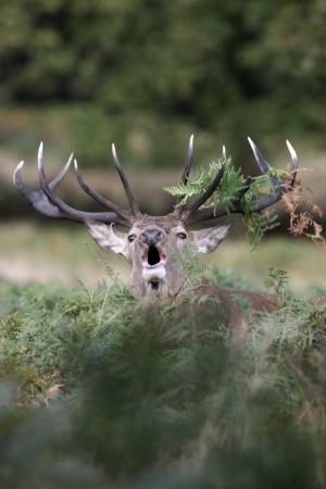 cervus elaphus: Red deer, Cervus elaphus, stag roaring, Richmond, October 2009