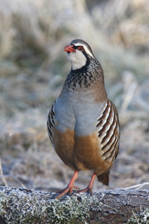rufa: Red legged partridge, Alectoris rufa, In frost, Midlands, winter