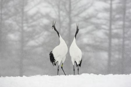 Red-crowned crane or japanese crane, Grus japonensis, displaying,  Hokkaido, Japan, winter Archivio Fotografico