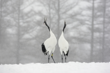 Red-crowned crane or japanese crane, Grus japonensis, displaying,  Hokkaido, Japan, winter Stockfoto