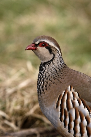 rufa: Red-legged partridge, Alectoris rufa, Midlands, winter