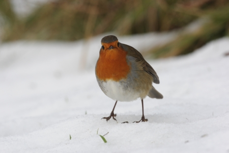 Robin, Erithacus rubecula, single bird standing in snow, Dumfries, Scotland, winter 2009           Reklamní fotografie