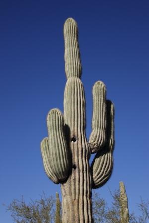 carnegiea: Saguaro cactus, Carnegiea gigantea, Arizona, USA Stock Photo