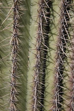 carnegiea: Saguaro cactis, Carnegiea gigantea, spines, Arizona, USA