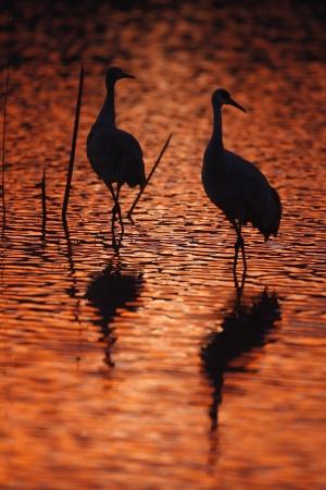 sandhill crane: Sandhill crane, Grus canadensis, Bosque, New Mexico, USA, winter                Stock Photo