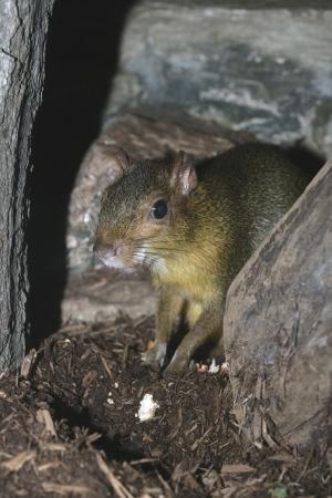 zoogdier: Acouchi, Myoprocta Pratti enkel zoogdier Stockfoto