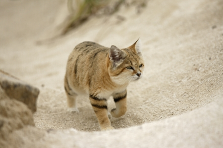 Arabian sand cat, Felis margarita harrisoni on sand Stock Photo