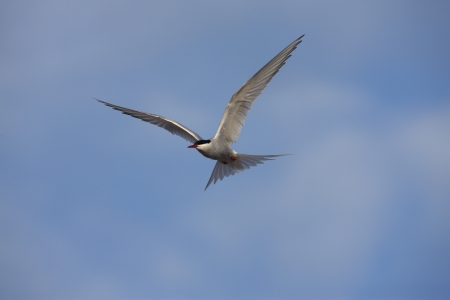 Arctic tern, Sterna paradisaea in flight          photo