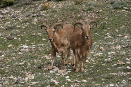Barbary sheep or Mouflon, Ammotragus lervia, Two animals standing on grass, Espuna National Park, Spain              photo