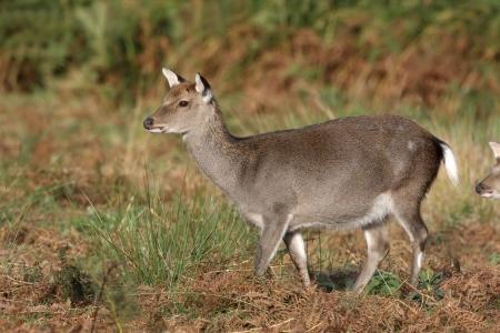 cervus: Sika deer, Cervus nippon, female, Kent. October 2009 Stock Photo