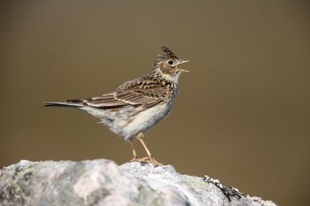 arvensis: Skylark, Alauda arvensis, singing, Scotland, spring                Stock Photo