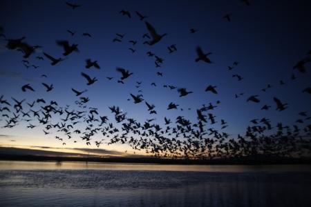anser: Snow goose, Anser caerulescens, flight, Bosque, New Mexico, USA, winter