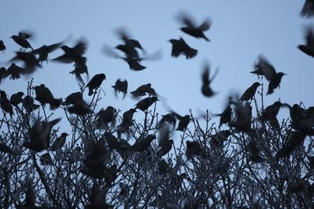 roost: Starling, Sturnus vulgaris, a flock of birds going to roost in tree, Dumfries, Scotland, winter 2009         Stock Photo