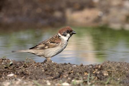 passer    by: Tree sparrow, Passer montanus, Bulgaria
