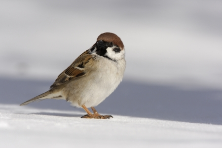 passer by: Tree sparrow, Passer montanus, Japan, winter