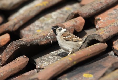 passer    by: Tree sparrow, Passer montanus, Yorkshire