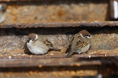 passer by: Tree sparrow, Passer montanus, roosting, Japan Stock Photo