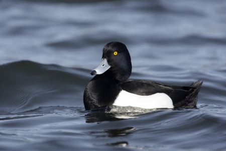 tufted: Tufted duck, Aythya fuligula, male, Scotland Stock Photo