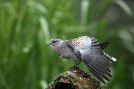 turtle dove: Turtle dove, Streptopelia turtur, captive, Norfolk            Stock Photo