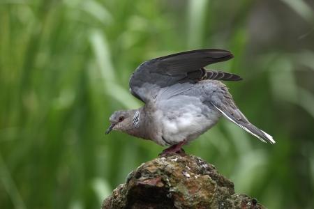 turtle dove: Turtle dove, Streptopelia turtur, captive, Norfolk