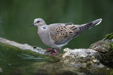 Turtle dove, Streptopelia turtur, captive, Norfolk