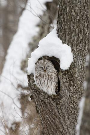ural owl: Ural owl, Strix uralensis, roost, Japan Stock Photo