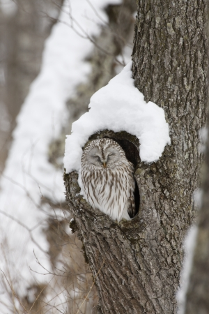 roost: Ural owl, Strix uralensis, roost, Japan Stock Photo