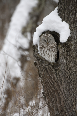 Ural owl, Strix uralensis, roost, Japan photo