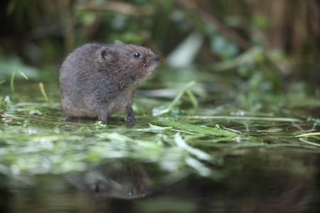 ratty: Arvicola d'acqua, Arvicola terrestris Archivio Fotografico