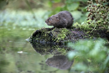 ratty: Water vole, Arvicola terrestris