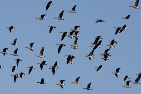white fronted goose: White fronted goose, Anser albifrons