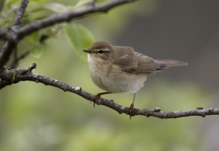 warbler: Willow warbler, Phylloscopus trochilus Stock Photo