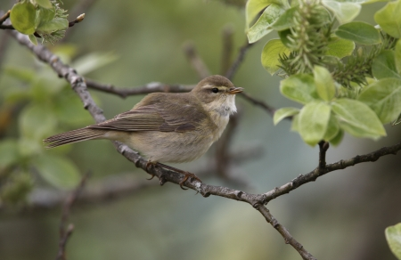 Willow warbler, Phylloscopus trochilus Stock Photo