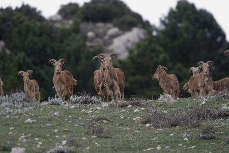 mouflon: Arrui o mufl�n, Ammotragus lervia, grupo de pie en la hierba, el Parque Nacional de Espu�a, Espa�a Foto de archivo